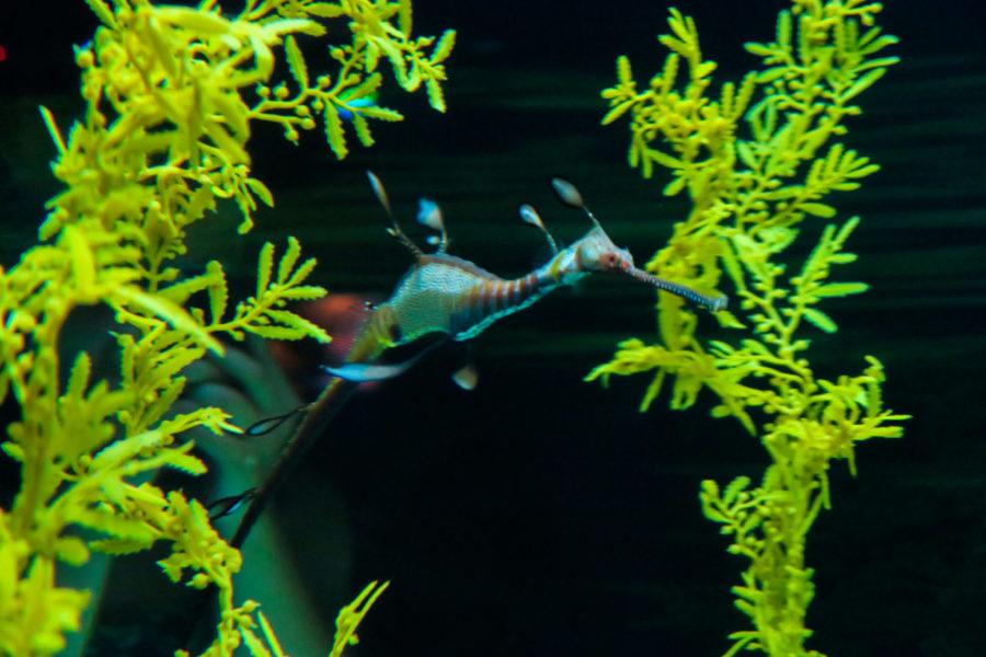 Une hippocampe à l'Oceanarium de Lisbonne