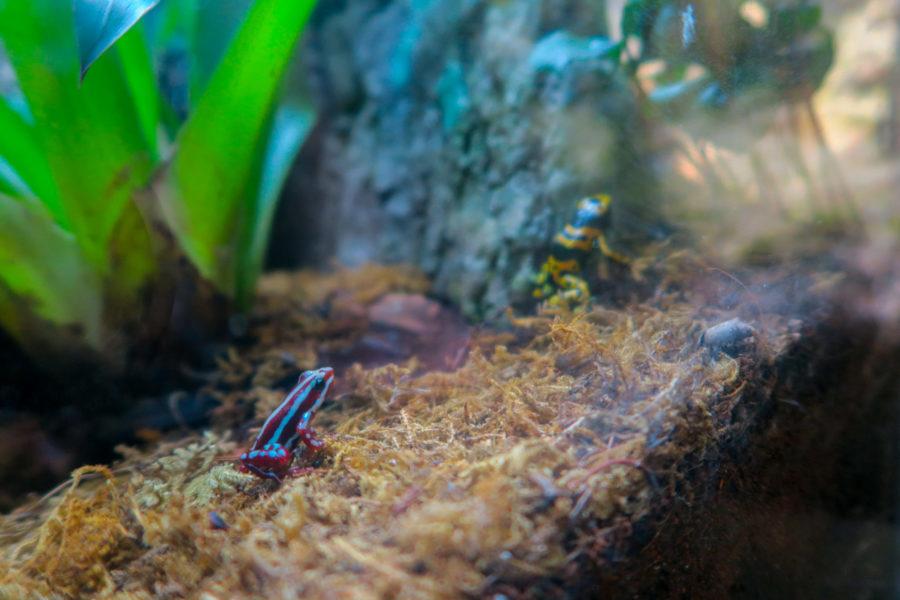 Petites grenouilles à l'Oceanarium de Lisbonne