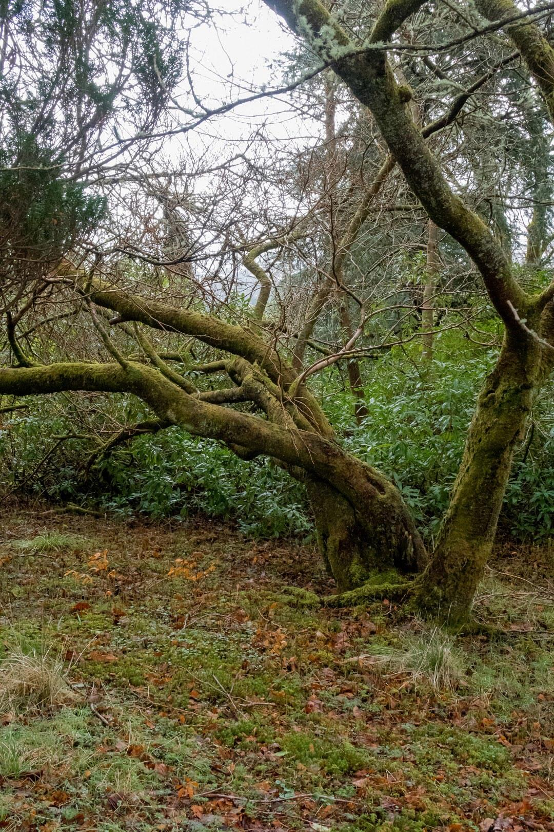 Inverlochy Park tree