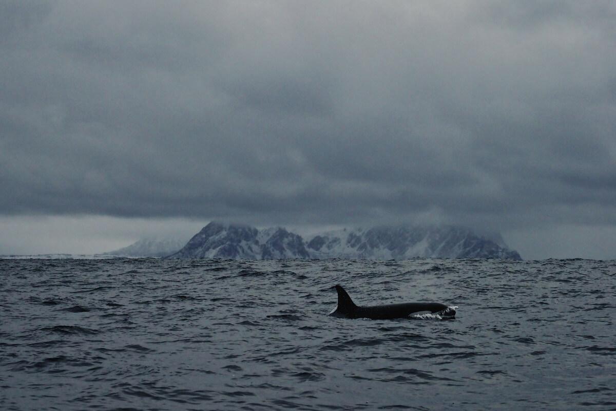 Les Orques meurent de faim
